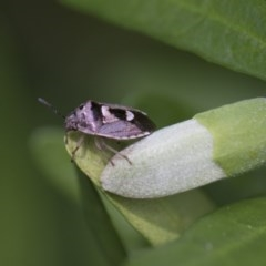 Pentatomidae (family) (Unidentified Shield or Stink bug) at Higgins, ACT - 2 Jan 2018 by AlisonMilton