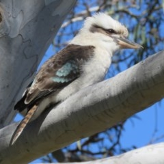 Dacelo novaeguineae (Laughing Kookaburra) at ANBG - 14 Aug 2015 by RodDeb