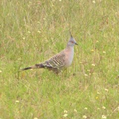 Ocyphaps lophotes (Crested Pigeon) at Mount Taylor - 3 Jan 2018 by MatthewFrawley