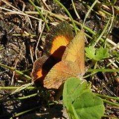 Paralucia aurifer (Bright Copper) at Tidbinbilla Nature Reserve - 6 Jan 2018 by JohnBundock