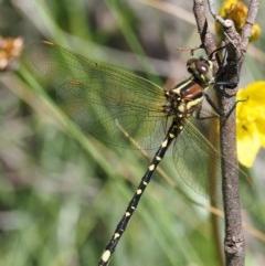 Synthemis eustalacta (Swamp Tigertail) at Namadgi National Park - 3 Jan 2018 by KenT