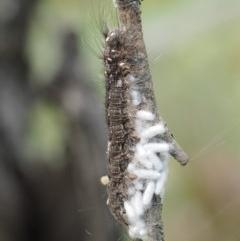 Porela cinerea (A Porela Moth) at Namadgi National Park - 1 Jan 2018 by KenT