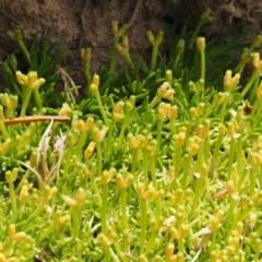 Scleranthus biflorus (Twin-flower Knawel) at Namadgi National Park - 1 Jan 2018 by KenT