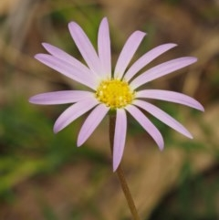 Calotis scabiosifolia var. integrifolia (Rough burr-daisy) at Namadgi National Park - 4 Jan 2018 by KenT