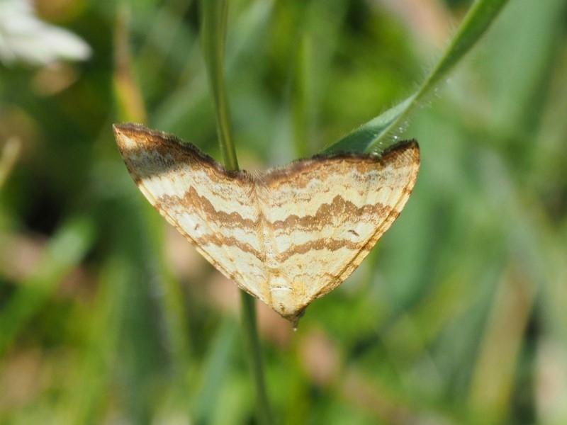 Chrysolarentia correlata at Namadgi National Park - 4 Jan 2018