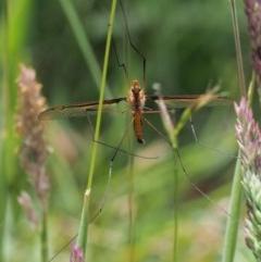 Leptotarsus (Macromastix) costalis (Common Brown Crane Fly) at Namadgi National Park - 4 Jan 2018 by KenT
