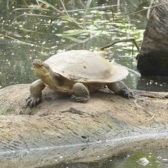 Emydura macquarii (Macquarie Turtle) at Watson, ACT - 7 Jan 2018 by Christine