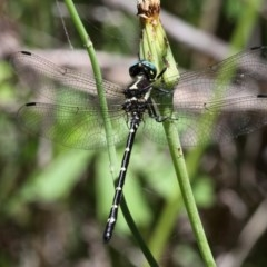 Eusynthemis guttata (Southern Tigertail) at Gibraltar Pines - 30 Dec 2017 by HarveyPerkins