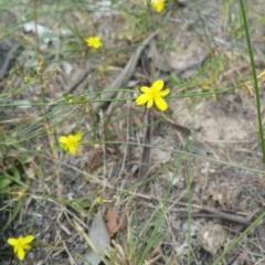 Tricoryne elatior (Yellow Rush Lily) at Jerrabomberra Grassland - 8 Jan 2018 by nath_kay