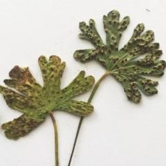 Rust fungus at Hughes Garran Woodland - 7 Jan 2018 by ruthkerruish
