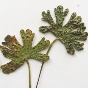 Rust fungus at Hughes, ACT - 8 Jan 2018