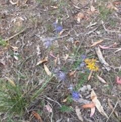 Eryngium ovinum (Blue Devil) at Federal Golf Course - 9 Jan 2018 by KL