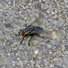 Sarcophagidae sp. (family) (Unidentified flesh fly) at Macarthur, ACT - 8 Jan 2018 by RodDeb