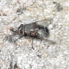 Rutilia (Donovanius) sp. (genus & subgenus) (A Bristle Fly) at Tidbinbilla Nature Reserve - 9 Jan 2018 by JohnBundock