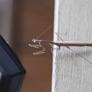 Archimantis sp. (genus) at Michelago, NSW - 7 Jan 2018