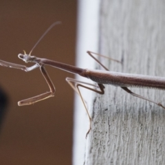 Archimantis sp. (genus) at Illilanga & Baroona - 7 Jan 2018