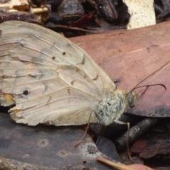 Heteronympha merope (Common Brown) at Farringdon, NSW - 9 Jan 2018 by Christine