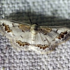 Dithalama cosmospila (Grey Spotted Wave) at O'Connor, ACT - 8 Jan 2018 by ibaird