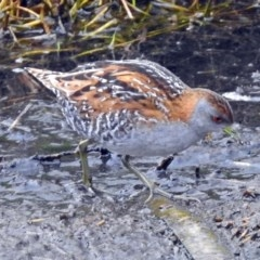 Zapornia pusilla (Baillon's Crake) at Jerrabomberra Wetlands - 9 Jan 2018 by RodDeb