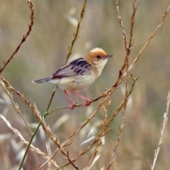 Cisticola exilis (Golden-headed Cisticola) at Jerrabomberra Wetlands - 9 Jan 2018 by RodDeb