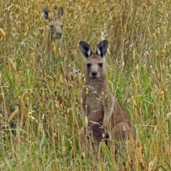 Macropus giganteus (Eastern Grey Kangaroo) at Jerrabomberra Wetlands - 9 Jan 2018 by RodDeb