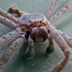 Isopeda sp.(genus) (Huntsman Spider) at Jerrabomberra Wetlands - 9 Jan 2018 by RodDeb