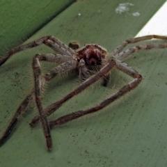 Isopeda sp. (genus) at Jerrabomberra Wetlands - 10 Jan 2018