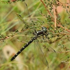 Eusynthemis guttata (Southern Tigertail) at Namadgi National Park - 10 Jan 2018 by JohnBundock