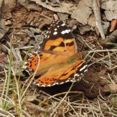 Vanessa kershawi (Australian Painted Lady) at Namadgi National Park - 10 Jan 2018 by JohnBundock