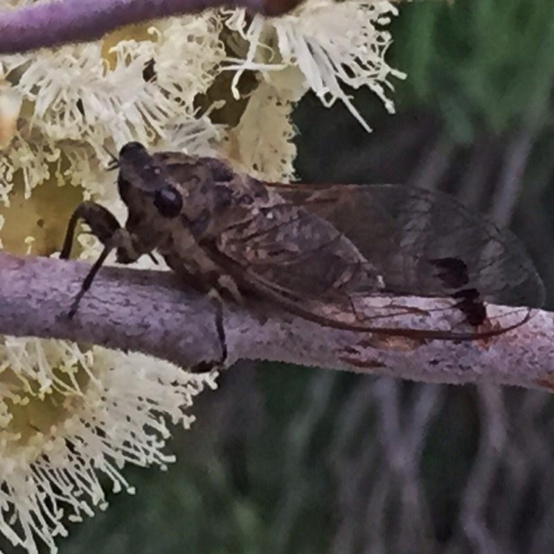 Galanga labeculata at Wandiyali-Environa Conservation Area - 8 Jan 2018