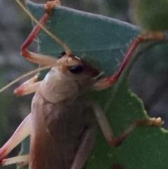 Paragryllacris sp. (genus) at Wandiyali-Environa Conservation Area - 8 Jan 2018