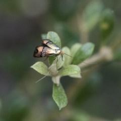 Nemophora sp. (Genus) at Michelago, NSW - 28 Dec 2017