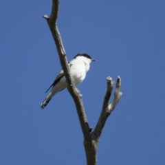 Lalage tricolor (White-winged Triller) at Illilanga & Baroona - 12 Oct 2013 by Illilanga