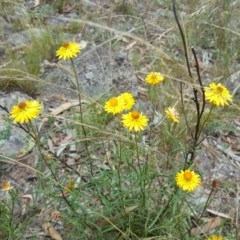 Xerochrysum viscosum (Sticky everlasting) at Isaacs Ridge and Nearby - 13 Jan 2018 by Mike