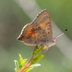 Paralucia aurifer (Bright Copper) at Gibraltar Pines - 10 Jan 2018 by KenT