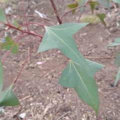 Brachychiton populneus subsp. populneus (Kurrajong) at Hume, ACT - 12 Jan 2018 by nath_kay