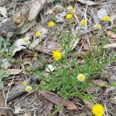 Calotis lappulacea (Yellow burr daisy) at Jerrabomberra Grassland - 12 Jan 2018 by nath_kay
