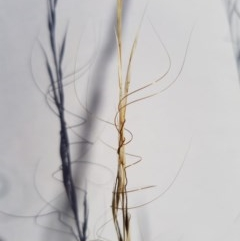 Austrostipa scabra subsp. falcata (Rough Speargrass, Slender Speargrass) at Griffith Woodland - 13 Jan 2018 by ianandlibby1