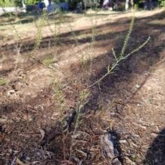 Lepidium africanum at Griffith Woodland - 13 Jan 2018 by ianandlibby1