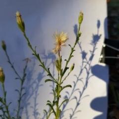 Vittadinia cuneata var. cuneata (Fuzzy New Holland Daisy) at Griffith Woodland - 13 Jan 2018 by ianandlibby1