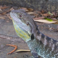 Intellagama lesueurii (Eastern Water Dragon) at ANBG - 13 Jan 2018 by MatthewFrawley