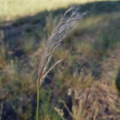 Bothriochloa macra (Red Grass, Red-leg Grass) at Griffith Woodland - 13 Jan 2018 by ianandlibby1