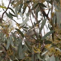 Pardalotus punctatus (Spotted Pardalote) at Michelago, NSW - 6 Nov 2010 by Illilanga