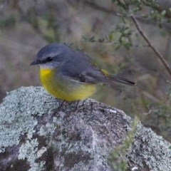 Eopsaltria australis (Eastern Yellow Robin) at Illilanga & Baroona - 16 Jun 2013 by Illilanga
