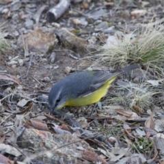 Eopsaltria australis at Michelago, NSW - 16 Jun 2013