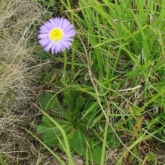 Brachyscome spathulata (Coarse Daisy, Spoon-leaved Daisy) at Kosciuszko National Park - 8 Jan 2018 by JackieMiles