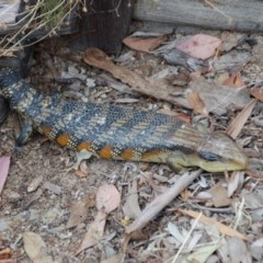 Tiliqua scincoides (Eastern Blue-tongue) at Aranda, ACT - 18 Oct 2017 by KMcCue