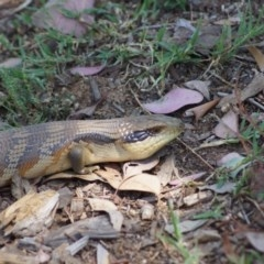 Tiliqua scincoides (Eastern Blue-tongue) at Cook, ACT - 20 Dec 2014 by Tammy