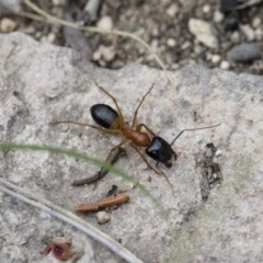 Camponotus consobrinus (Banded sugar ant) at Illilanga & Baroona - 26 Dec 2017 by Illilanga