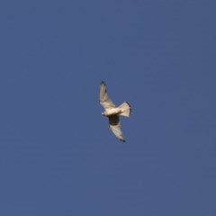 Falco cenchroides (Nankeen Kestrel) at Illilanga & Baroona - 23 Dec 2017 by Illilanga